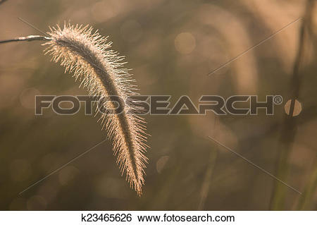 Stock Images of Dwarf Foxtail Grass or Pennisetum alopecuroides.