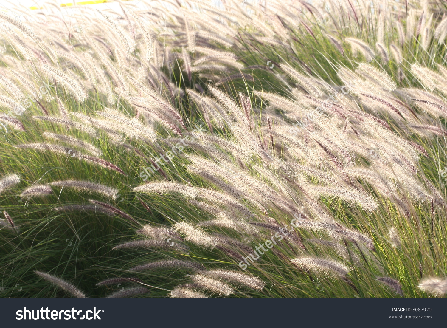 Foxtail Barley Plant Stock Photo 8067970.