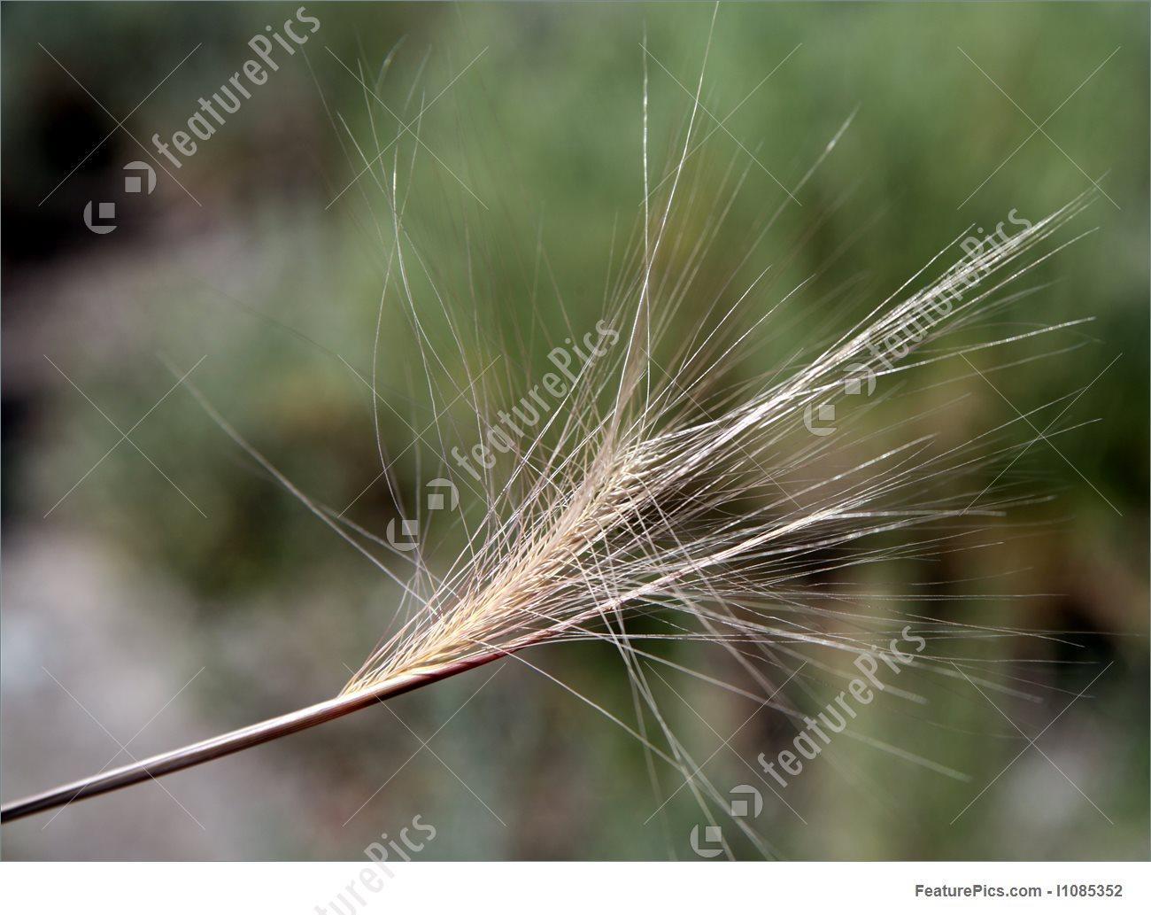 Plants: Foxtail Plant.