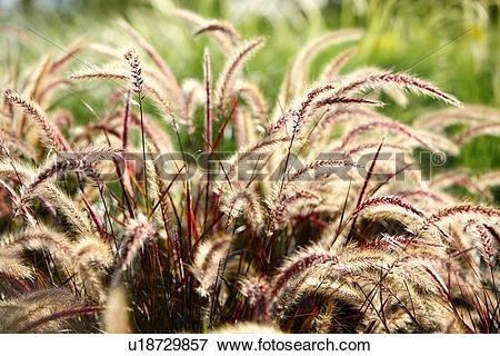 Picture of Green foxtail u18729857.