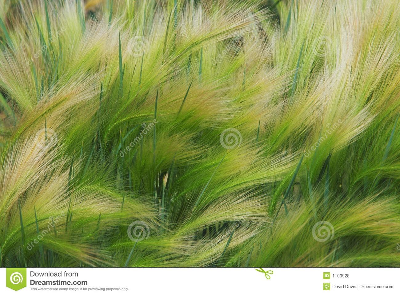 Foxtail Barley Grass Royalty Free Stock Photos.