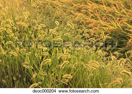 Stock Photo of Green foxtail field dsoc000204.