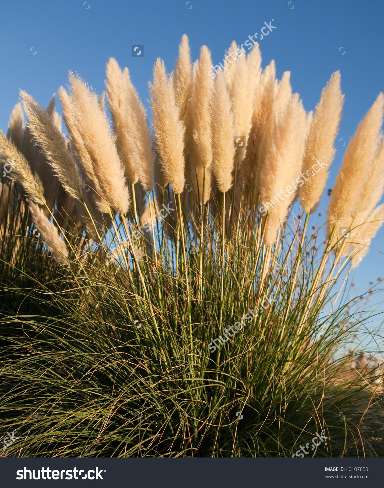 Beautiful Foxtail Looking Yellow Plants Growing Stock Photo.