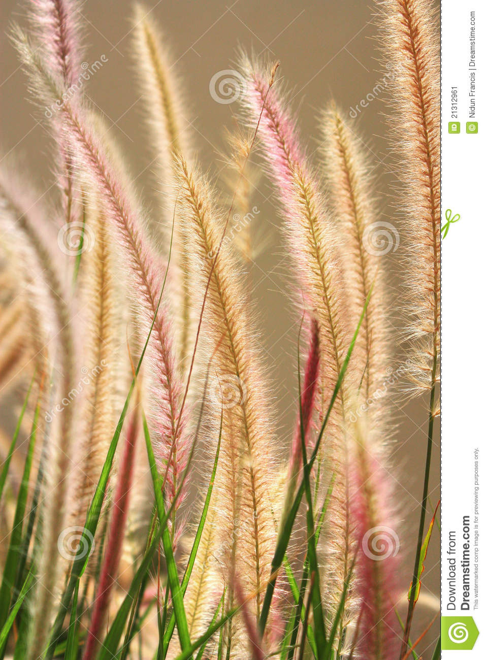 Foxtail Grass Stock Image.