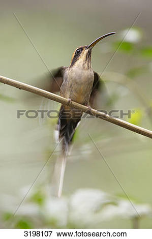 Picture of Planalto Hermit (Phaethornis pretrei), Foz do Iguacu.