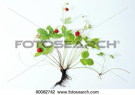 Stock Photo of DEU, 2006: Wild Strawberry, Woodland Strawberry.
