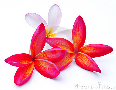 Pink Frangipani Border Stock Photos, Images, & Pictures.
