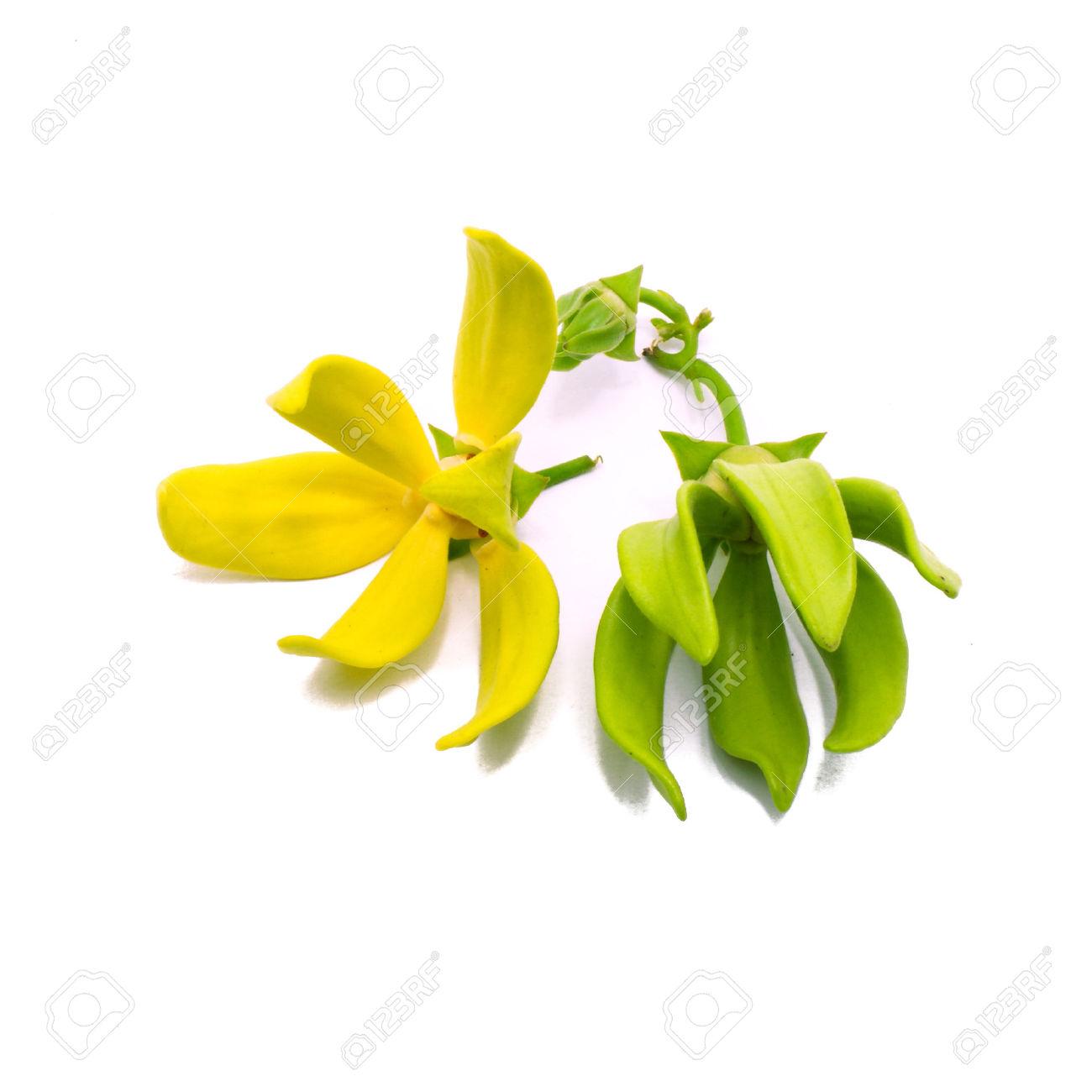 Yellow Fragrant Flower, Ylang.