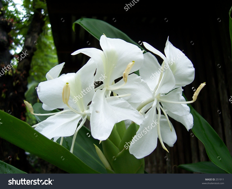 Fragrant Camia Philippine Flower Stock Photo 251911.