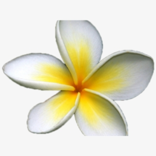 Frangipani Flower Cartoon , Transparent Cartoon, Free.