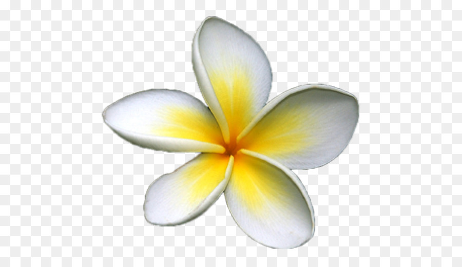 Frangipani Flower png download.