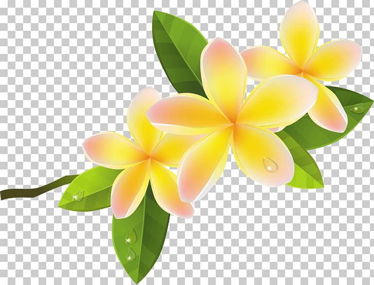 Frangipani Flower , frangipani, yellow.