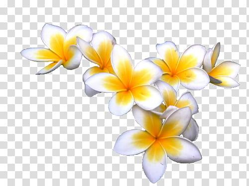 Yellow , yellow and white Plumeria rudra flowers art.