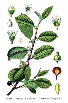 Rhamnus frangula Alder Buckthorn PFAF Plant Database.