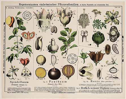 Dictamnus albus.