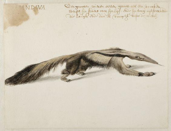 Giant Anteater, Frans Post (1612.
