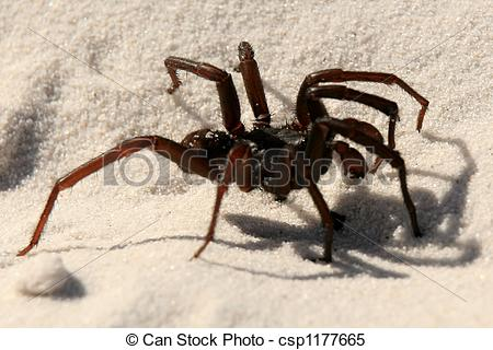Stock Images of Funnel Web Spider.