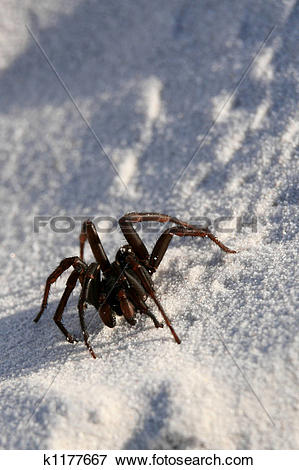 Picture of Funnel Web Spider.