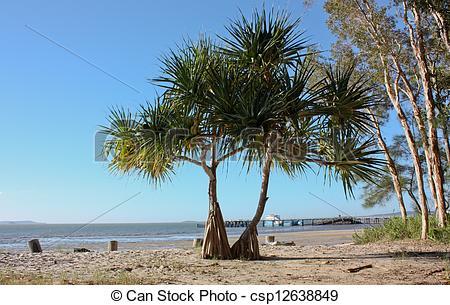 Stock Photo of Pandanus tree on Fraser Island, Qld.
