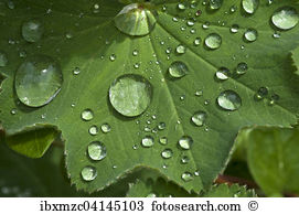 Alchemilla Stock Photos and Images. 257 alchemilla pictures and.
