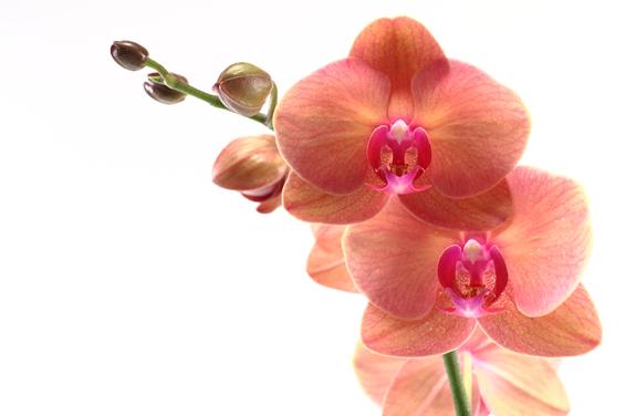 Minha orquídea está perdendo as folhas, socorro!.
