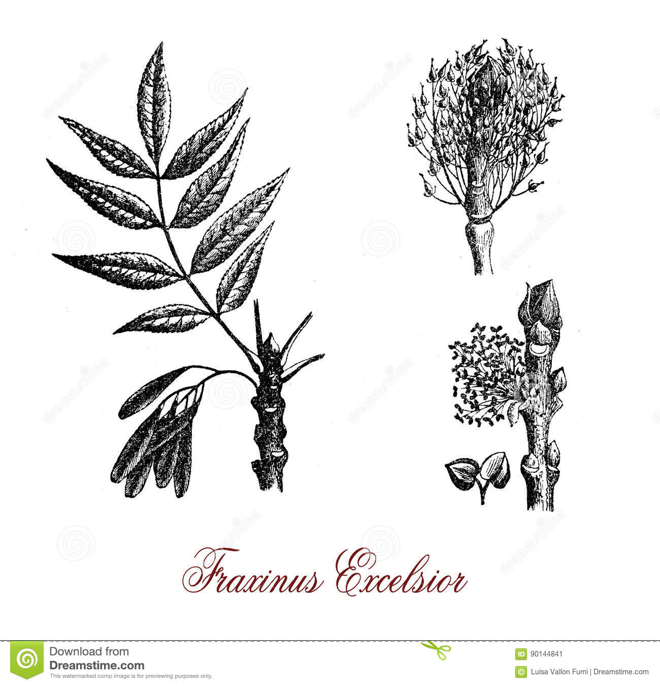 Fraxinus Excelsior Or Common Ash, Botanical Vintage Engraving.