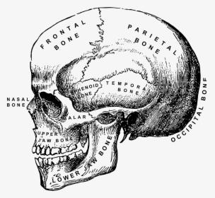 Clip Art Human Skull Clipart.