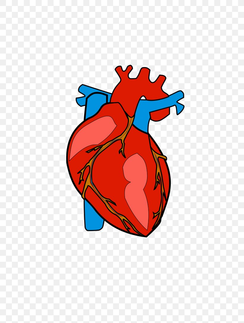 Heart Anatomy Clip Art, PNG, 768x1086px, Watercolor, Cartoon.