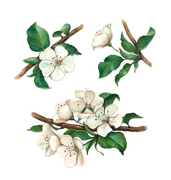 Best Apple Blossom Illustrations, Royalty.