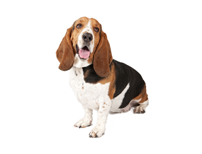 Download Free png Basset Hound PNG Clipart.