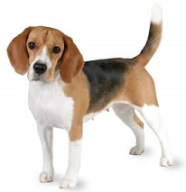 Beagle clipart public domain, Beagle public domain.
