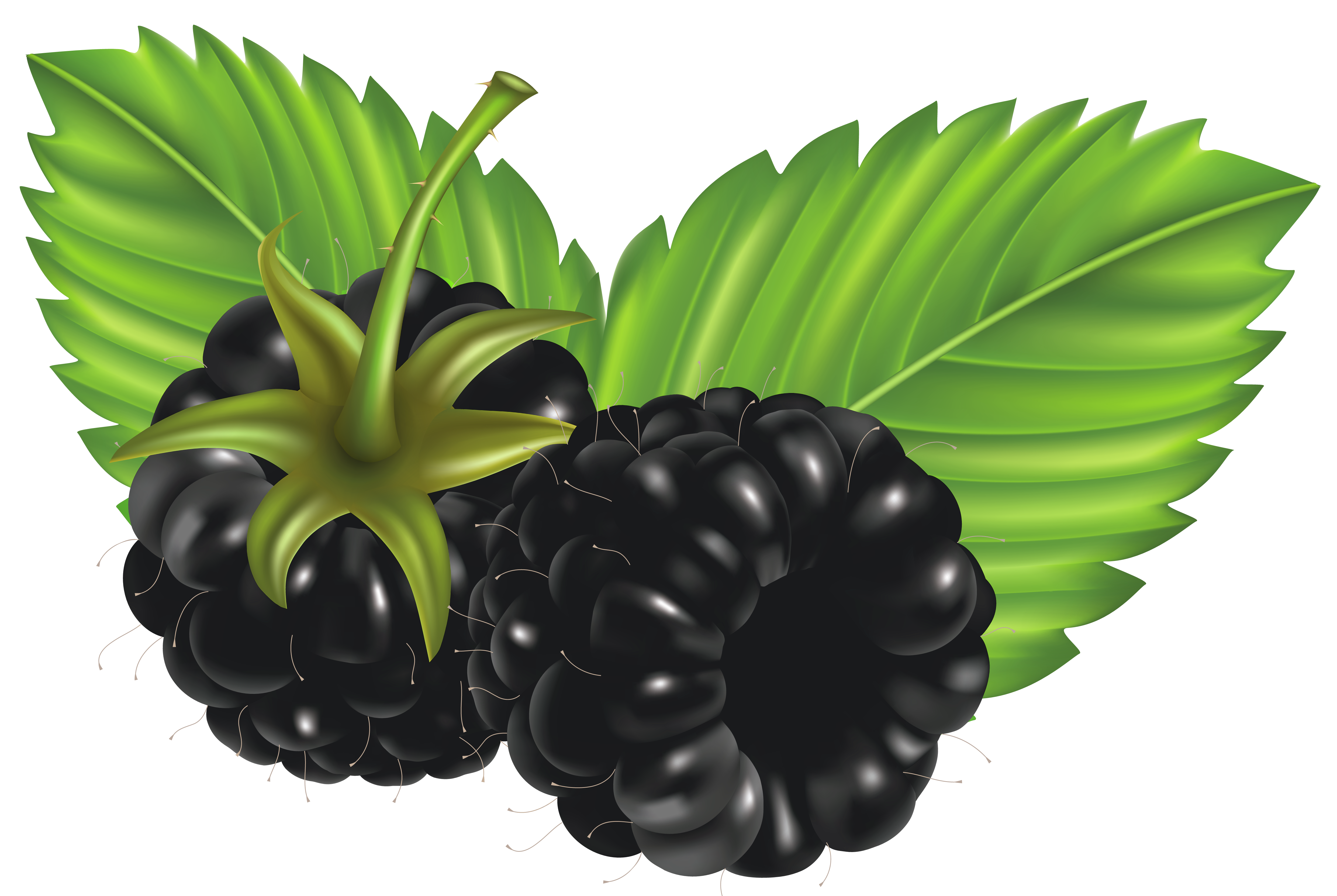 Free Blackberries Png, Download Free Clip Art, Free Clip Art.