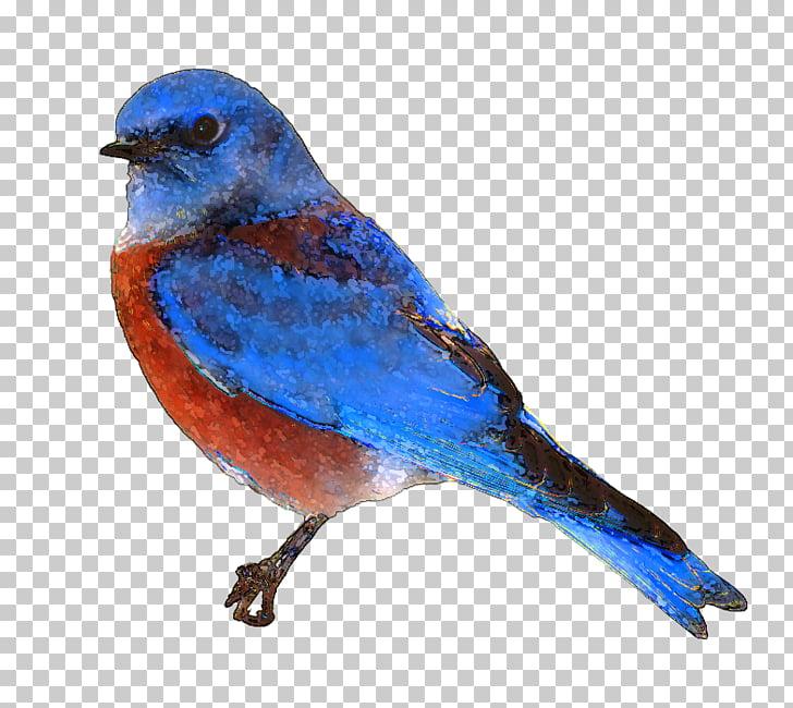 Eastern bluebird , Free Bluebird PNG clipart.