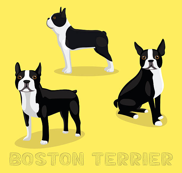 Best Boston Terrier Illustrations, Royalty.