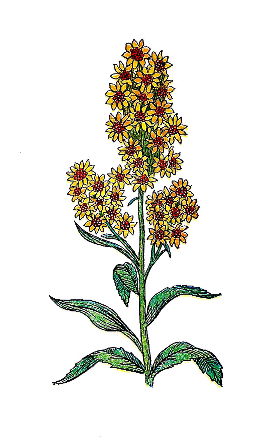 Antique Images: Free Botanical Clip Art: Vintage Herb.