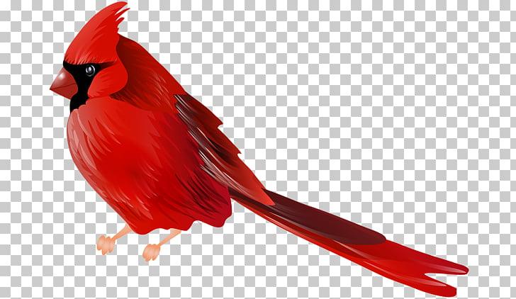 Northern cardinal Bird , Bird PNG clipart.