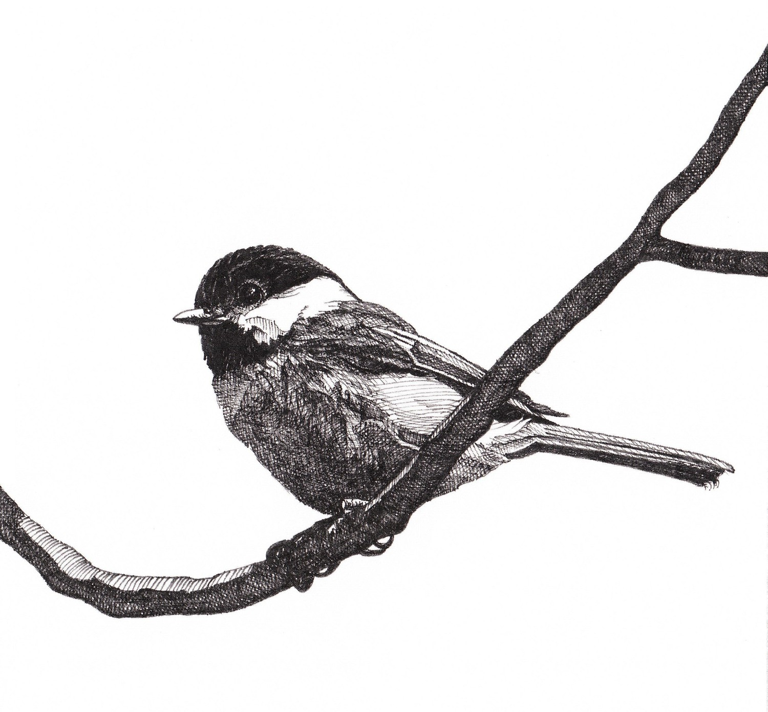 Collection of Chickadee clipart.
