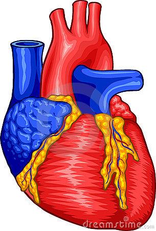 Anatomical Heart Clipart.