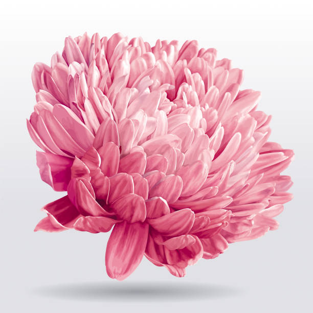 Best Chrysanthemum Flower Illustrations, Royalty.
