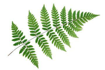 Fern leaf isolated on white background.