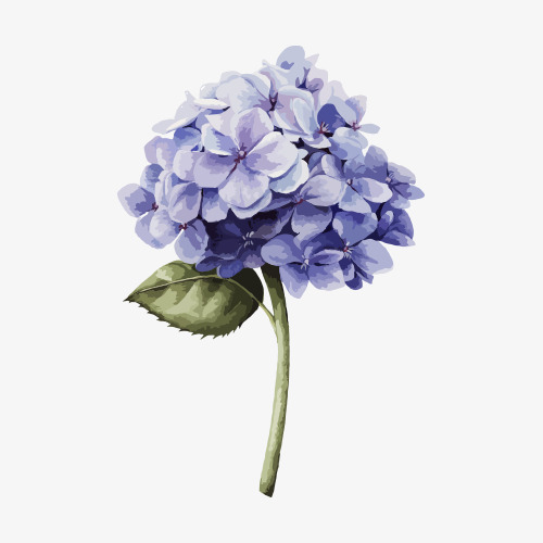 Hand Drawn Hydrangea, Hydrangea, Flower PNG Transparent Image and.