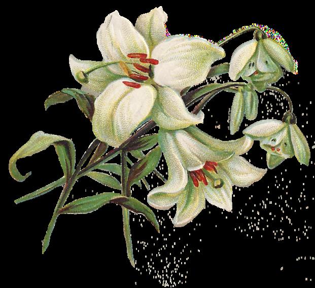 free lily clip art.