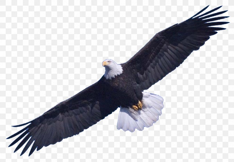 Bald Eagle Clip Art, PNG, 979x682px, Prince William Sound.