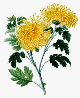 Free Chrysanthemum Clip Art with No Background.
