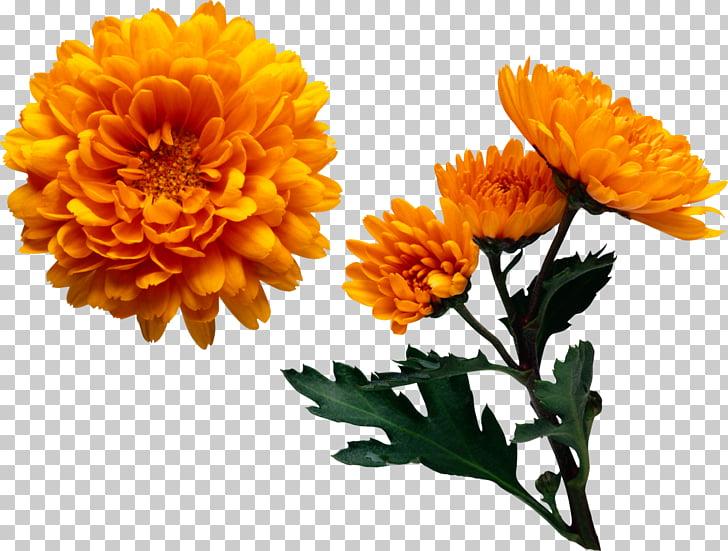 Chrysanthemum Color Flower Yellow , chrysanthemum PNG.