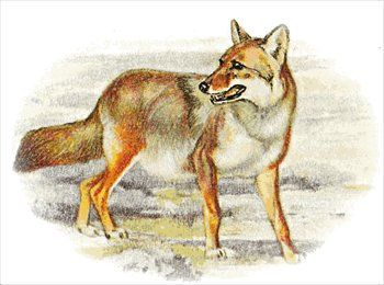 Free coyote Clipart.