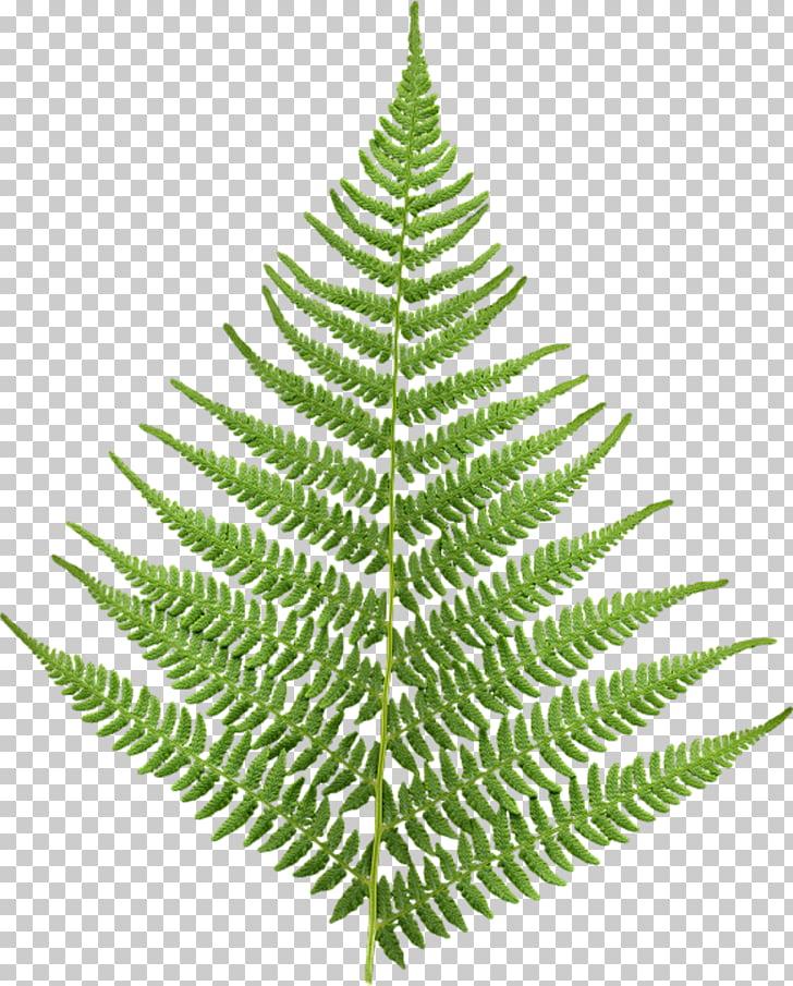 Fern Leaf Animaatio, Leaf PNG clipart.