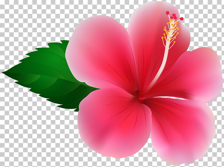 Hibiscus Flower , pink flowers PNG clipart.
