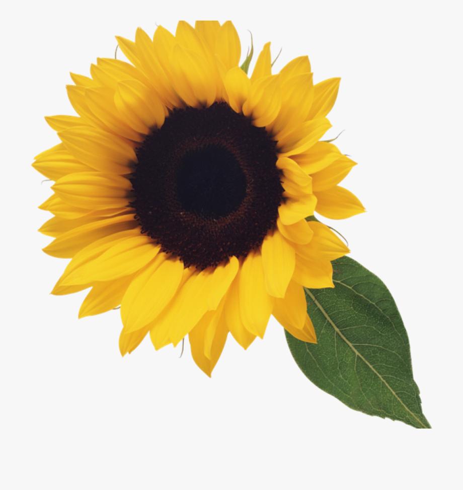 Clipart Free Sunflower.