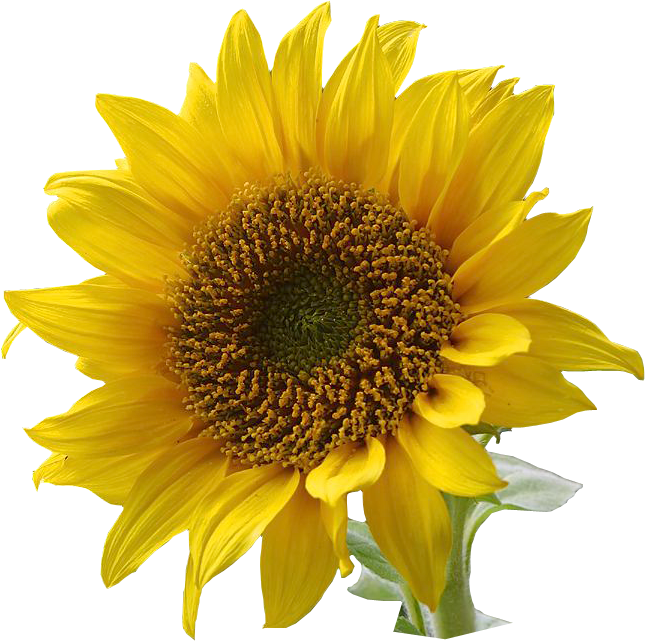 Free Sunflowers Cliparts, Download Free Clip Art, Free Clip.